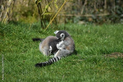 Naklejka premium Lemurs On Grassy Field In Park