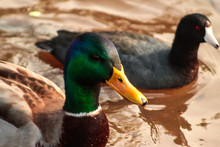 Close-up Of Mallard Duck And Coot Swimming In Pond