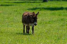 Brown Miniature Donkey In Pasture