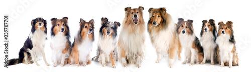 Fototapeta Rough Collies and shetland sheepdogs obraz