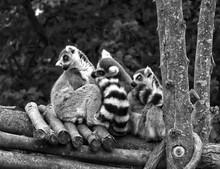 Lemurs Relaxing On Woods