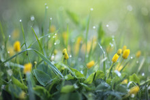 Dew On Yellow Wildflowers In T...