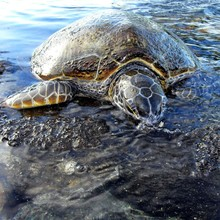 Surface Level Of A Turtle In Water