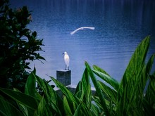 Wet Leaves With Snowy Egret Standing On Concrete Block By Water
