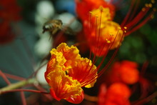 Close-up Of Royal Poinciana Blooming Outdoors