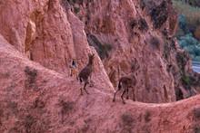 Mountain Goat Climbing The Ste...
