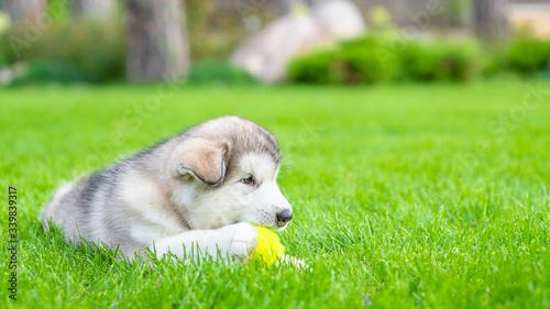 Alaskan malamute puppy plays with  tennis ball on green summer gras Wallpaper Mural