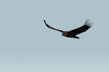 Wild Vulture Flying Over The Sky