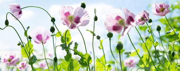 Panel Szklany Podświetlane Do kuchni Poppy flowers in a field. Poppies meadow