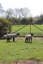Sheep And Baby New Born Spring Lambs With Woollen Coats