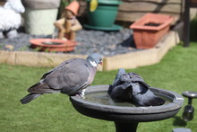 Adult Pigeon Washing In A Gard...