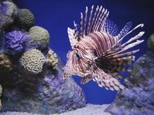 Lionfish Swimming In Tank At Aquarium