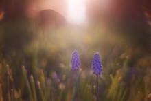 Grape Hyacinth Blooming On Field