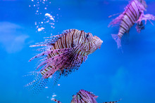 Red Lionfish - One Of The Dangerous Coral Reef Fish At Thailand Ocean