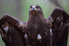 Portrait Of A Steppe Eagle (Aq...