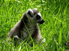 Lemur Relaxing On Grassy Field