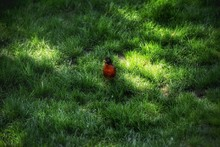 Close-up Of American Robin On Grass