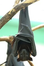 Close-up Portrait Of A Bat Hanging On Branch