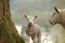 Sheep And Baby Spring Lamb