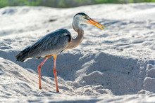 Side View Of Great Blue Heron On Sand