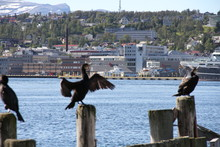 Bird Birds Cormorants Tromso Tromsø  Water Travel Tourism Sea Coast Nature Port Blue Landscape Sky Harbor Architecture Europe Boatship Mountain Summer Bay View City Beautifull And Mark Mediterranean V
