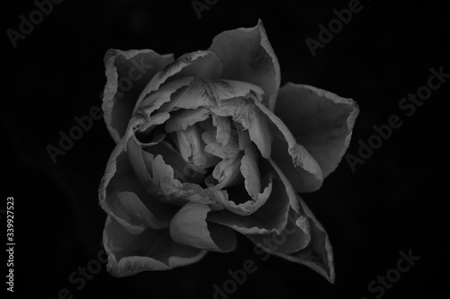 Fototapety, obrazy: Close-up Of Rose Over Black Background