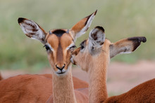 Portrait Of Two Young Impalas ...