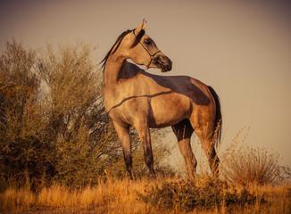 horse Arizona arabian