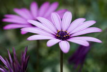 Close Up Pink Daisy Of The Cape , Realistic  And Natural