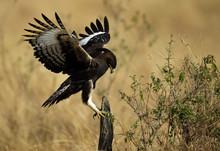 Long-crested Eagle On A Log, Masai Mara