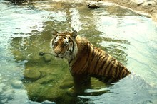 View Of A Tiger In Pond