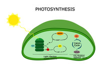 Photosynthesis Diagram, During Photosynthesis, Plant  Absorb Water , Light , And Carbon Dioxide , Convert It To Sugars And Oxygen