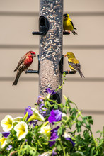 Finches Feeding On Backyard Fe...