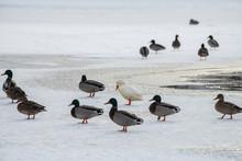 Wild Duck Mallard White Rare Mutant Winter Genetic Mutation Color