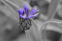 Isolated Color Of Purple Spiny Flower On Thick Stalk