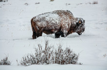 A Lone Bison Covered In Snow Searches For Grass To Eat
