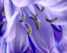 Close Up Of Bluebell Macro Shot