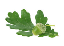 Young Acorn And Green Oak Leaf Isolated On A White Background
