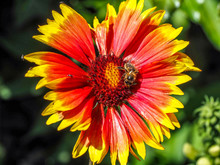Close Up Of Orange And Yellow Daisy With Bee In Center.