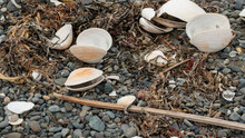 Clam Shells On Pebble Beach