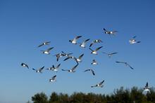 Laughing Gulls Flying On Beach...