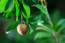 Fresh Chikku, Sapodilla Fruit Isolated On Green Background