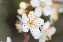 Blooming Wild Plum Tree Closeu...