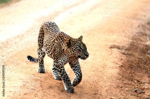 Leopard (Panthera pardus kotiya). Yala National Park, Sri Lanka. Poster Mural XXL