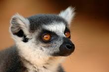 Lemuren, Madagaskar