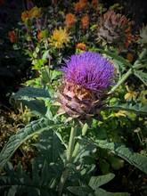 Purple Artichoke Thistle