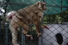 Sad Monkey Looking Outside The Cage For Freedom