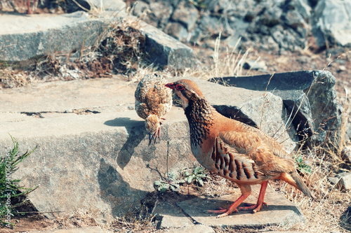 Fotografia The rock partridge (Alectoris graeca) birds a bird of a pheasant family with chicks on a hiking trail in the mountains of Madeira