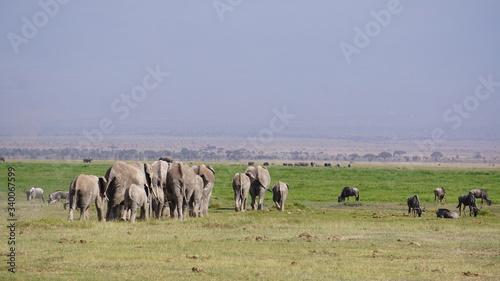 Elephants in Amboseli National Park in Kenya, Africa Canvas Print