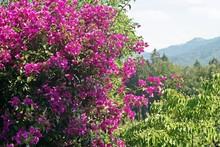 Bush With Purple Blossoms In The Garden